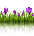 Green grass lawn and violet crocuses with vector