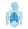 Human anatomy rib bones vector