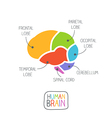 Human brain section vector