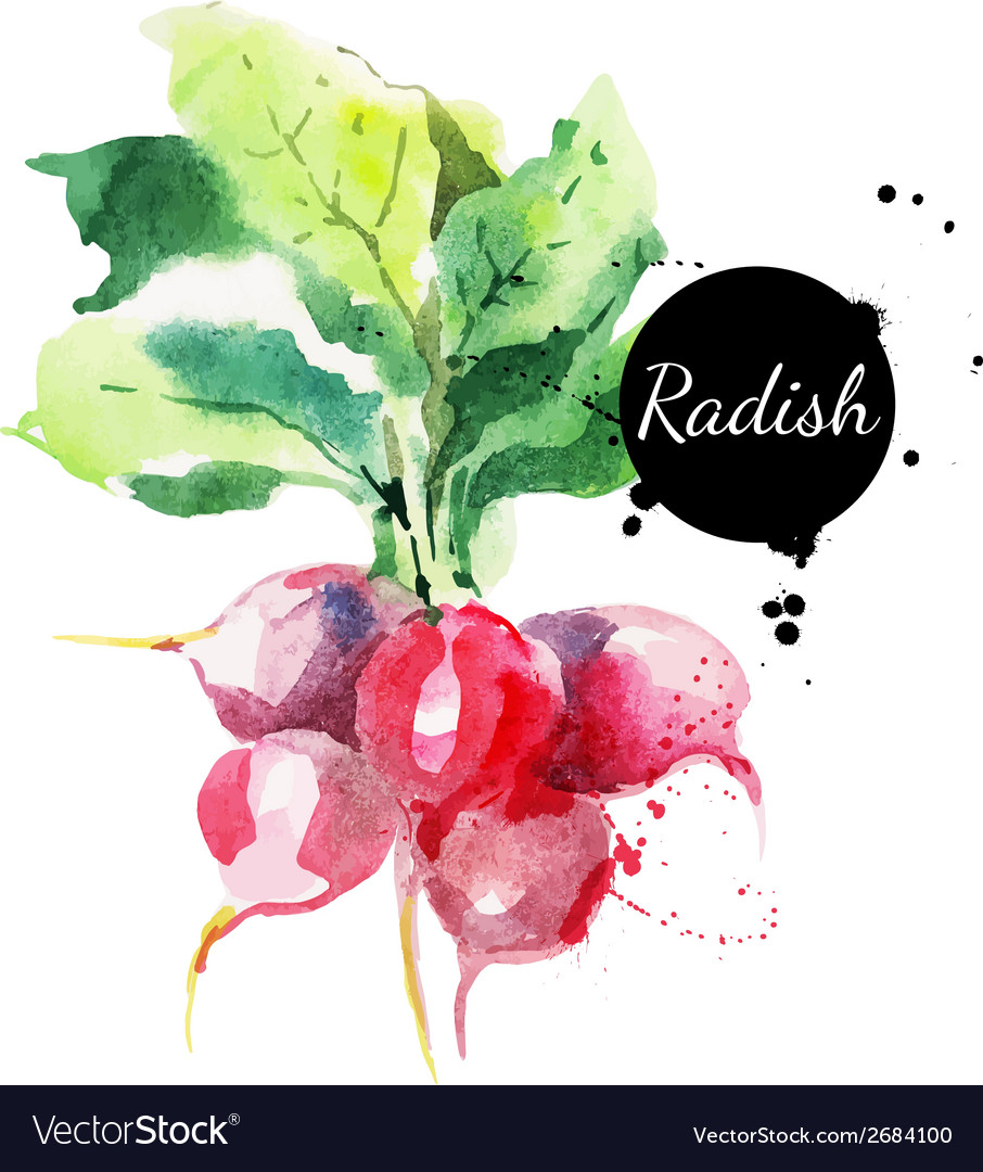 Radish with leaf hand drawn watercolor painting vector | Price: 1 Credit (USD $1)