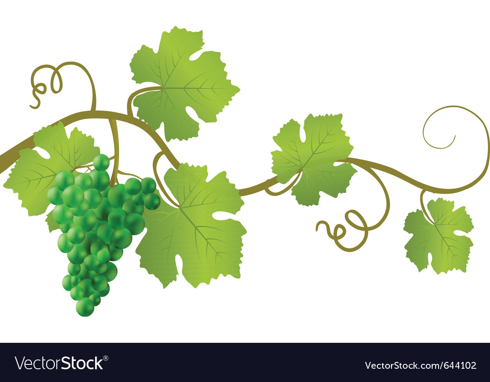Green grape vine vector | Price: 1 Credit (USD $1)