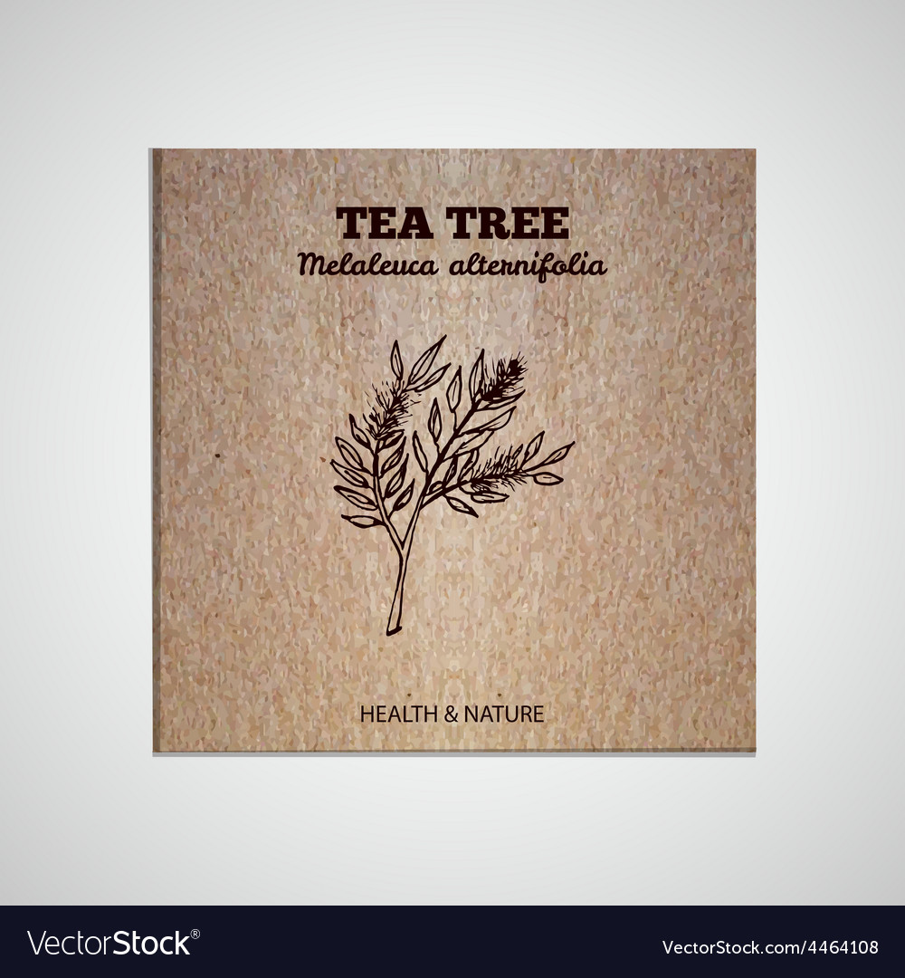 Herbs and spices collection - tea tree vector | Price: 1 Credit (USD $1)