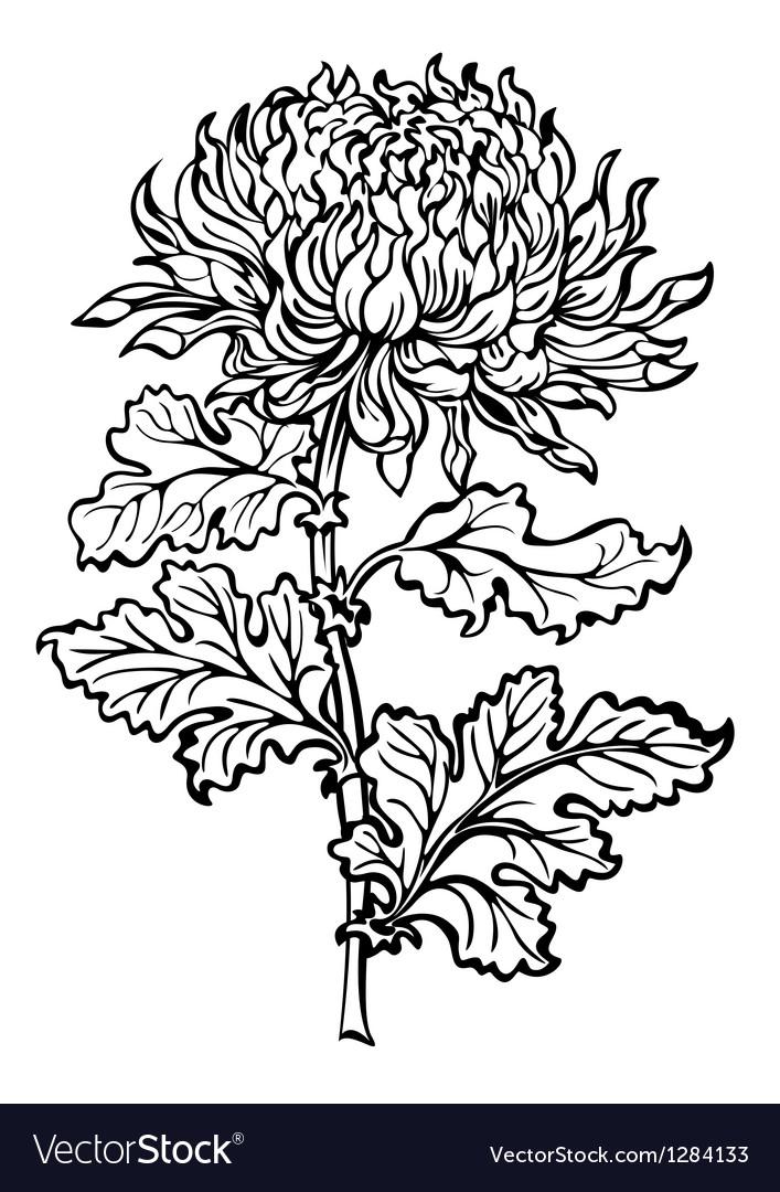 Chrysanthemum flower vector | Price: 1 Credit (USD $1)