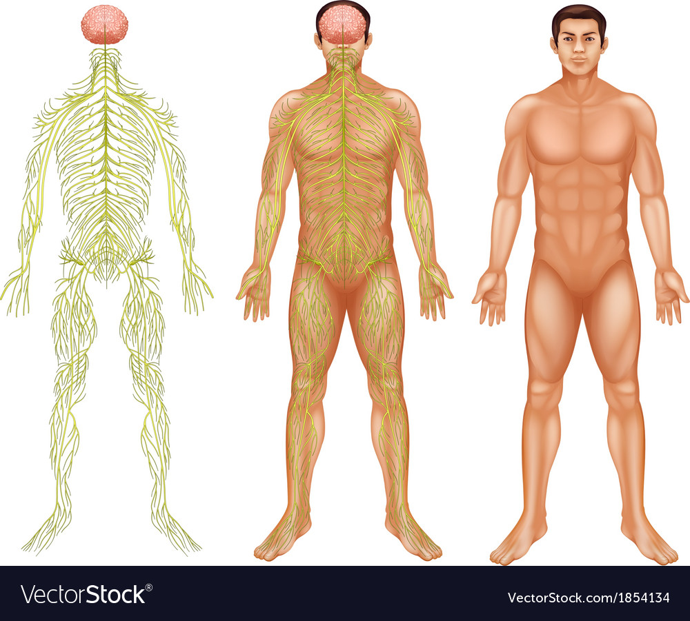 Nervous system of a man vector | Price: 1 Credit (USD $1)