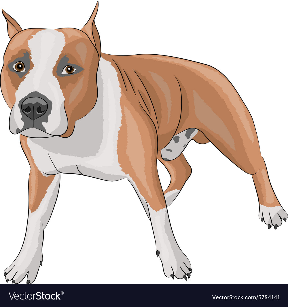 Staffordshire terrier b vector | Price: 1 Credit (USD $1)