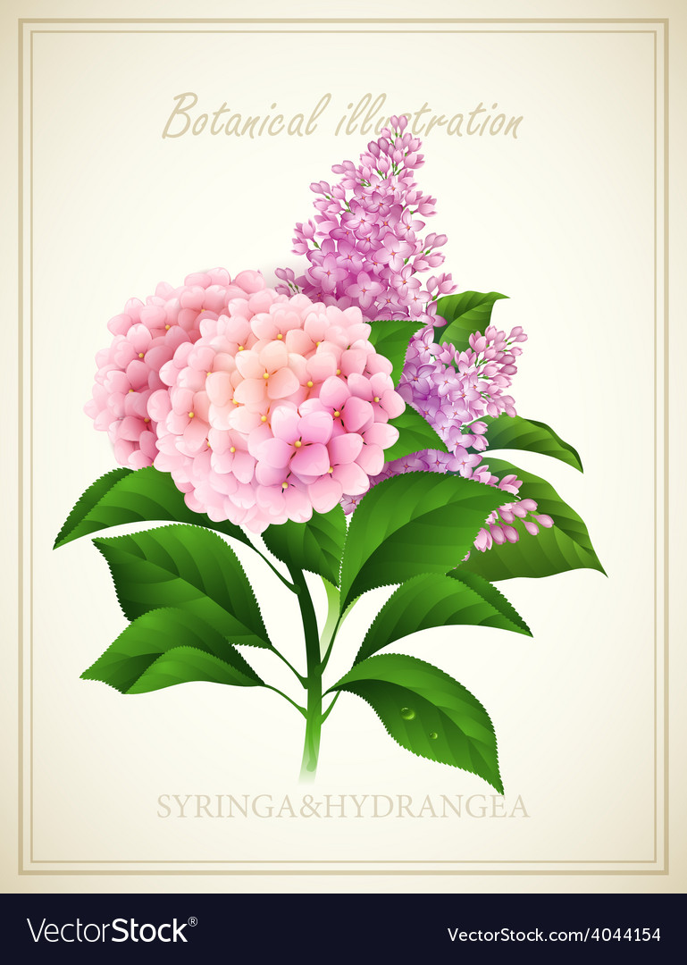 Syringa and hydrangea botanical vector   Price: 3 Credit (USD $3)