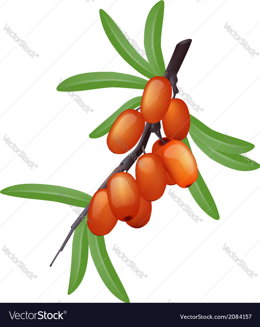 Sea buckthorn branch with berries vector | Price: 1 Credit (USD $1)