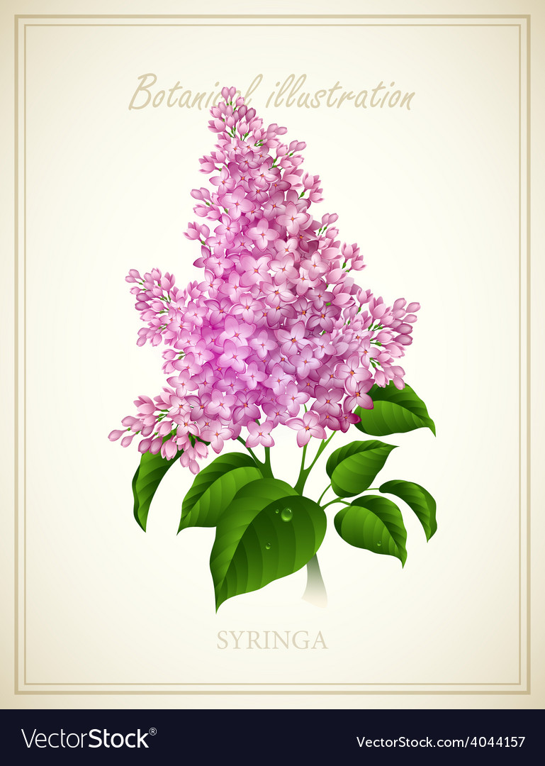 Syringa botanical vector   Price: 3 Credit (USD $3)