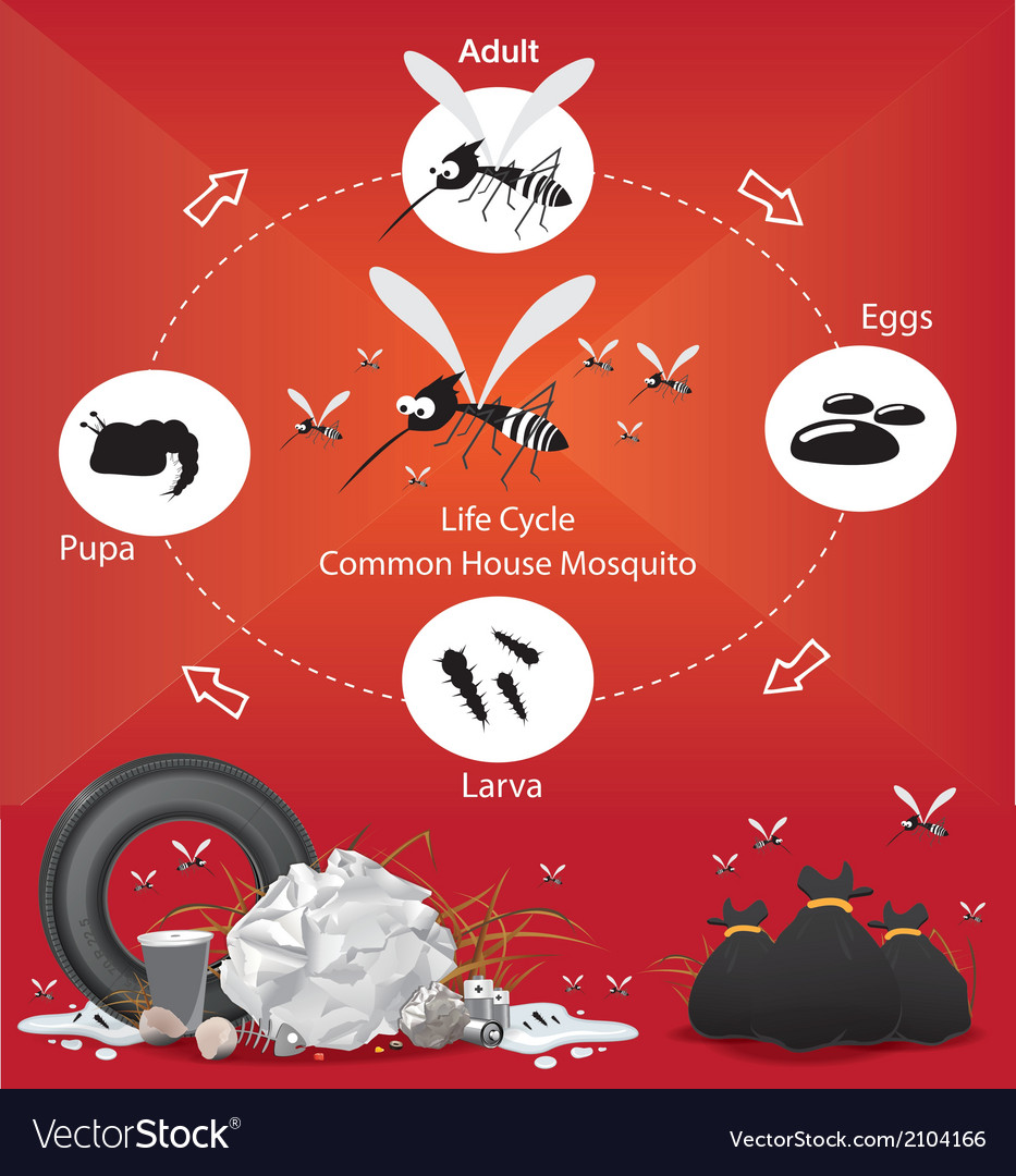 Life cycle mosquito vector | Price: 1 Credit (USD $1)