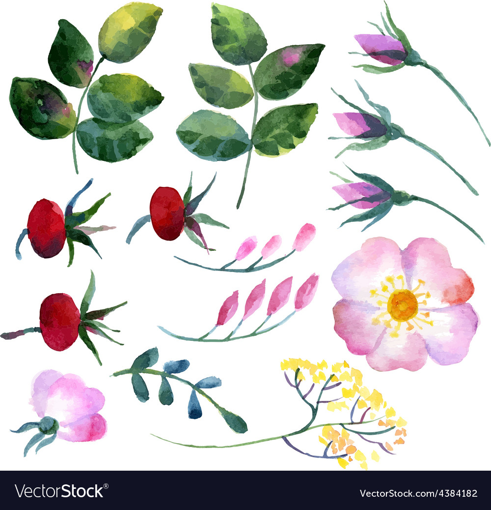 Set of watercolor elements rosehip vector | Price: 1 Credit (USD $1)