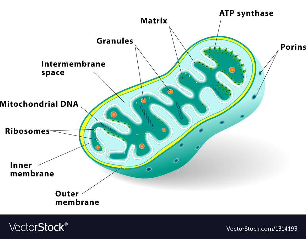 Mitochondrion vector