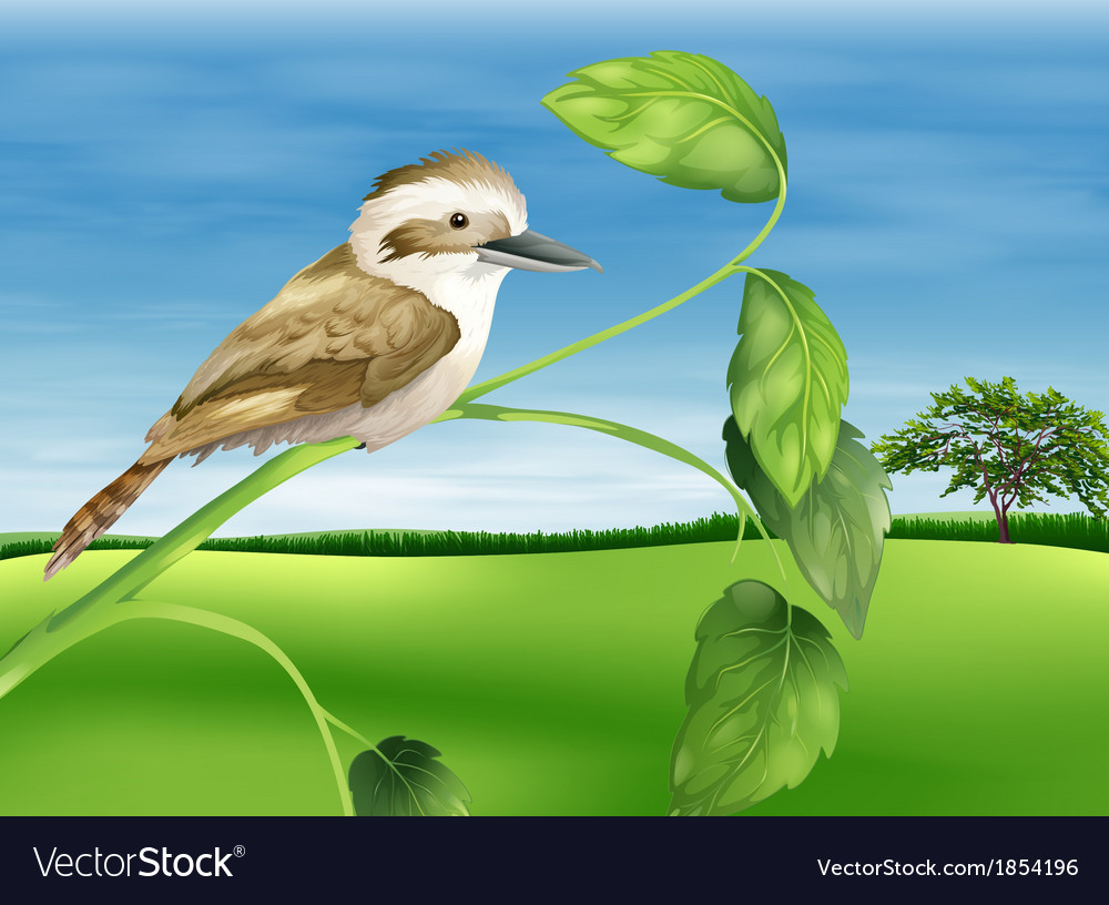 Kookaburra vector | Price: 3 Credit (USD $3)