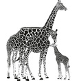 Adult giraffes and baby giraffe vector