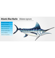 Altantic blue marlin vector