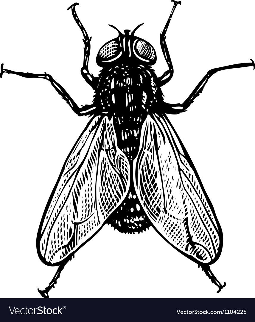Fly in engraved style vector | Price: 1 Credit (USD $1)