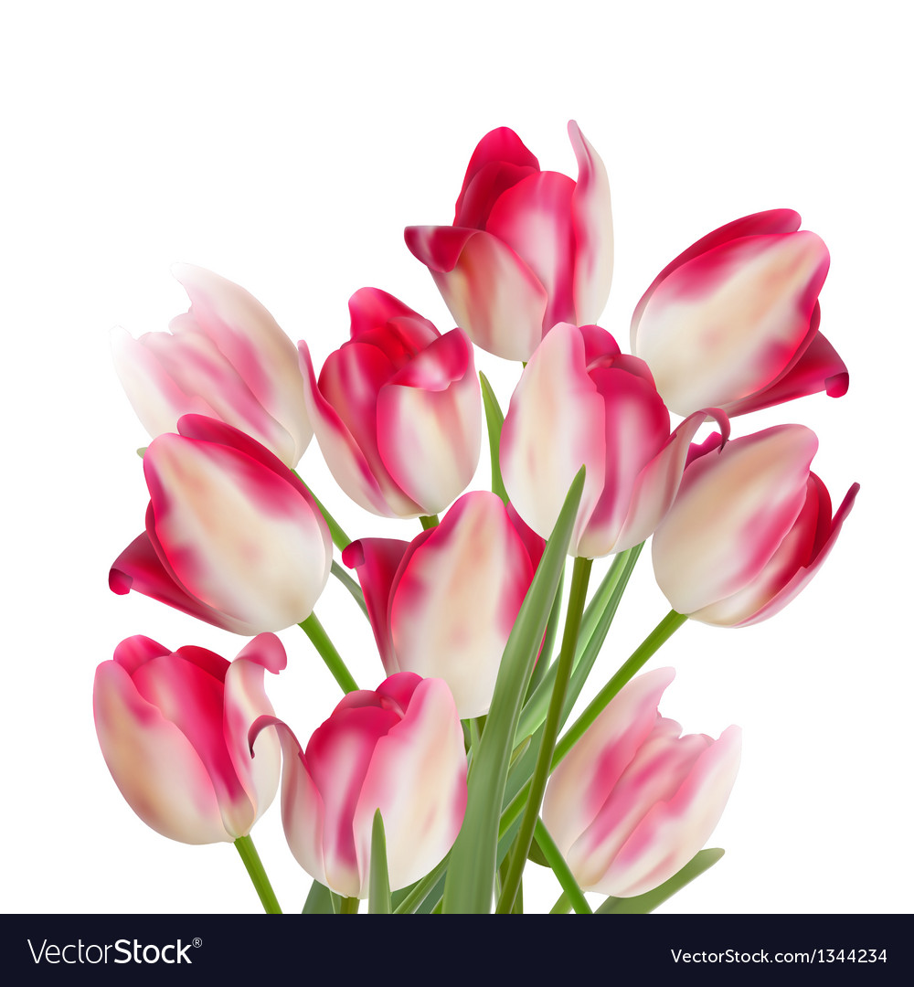 Bouquet of tulips on white background eps 10 vector | Price: 1 Credit (USD $1)