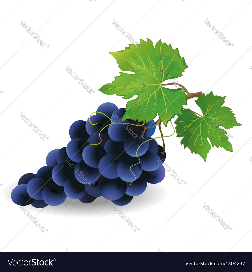Black grape vector | Price: 1 Credit (USD $1)