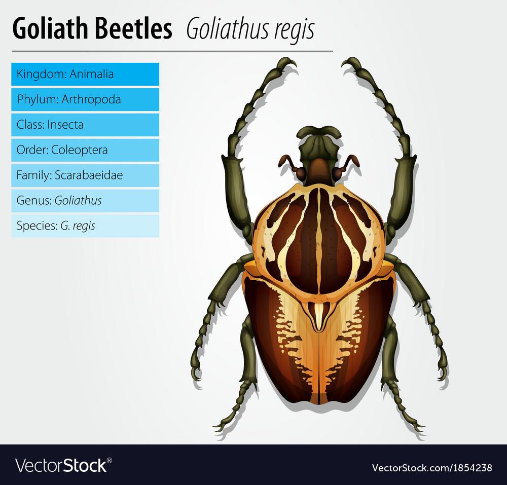 Gothiath beetle vector | Price: 1 Credit (USD $1)