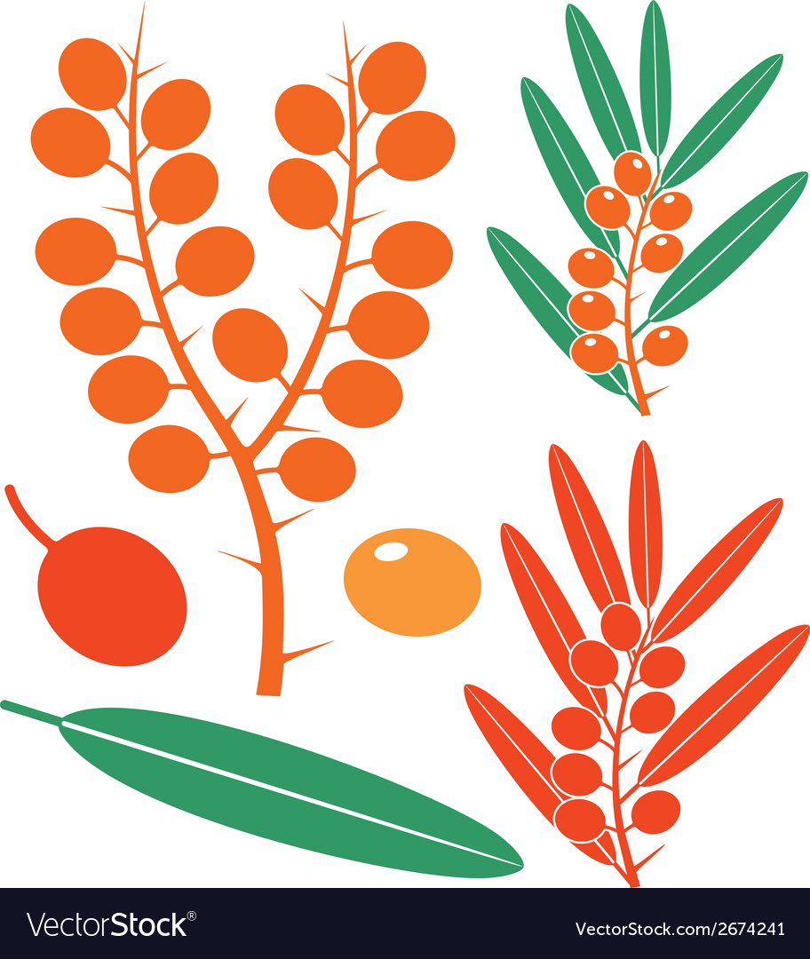 Sea buckthorn berries vector | Price: 1 Credit (USD $1)