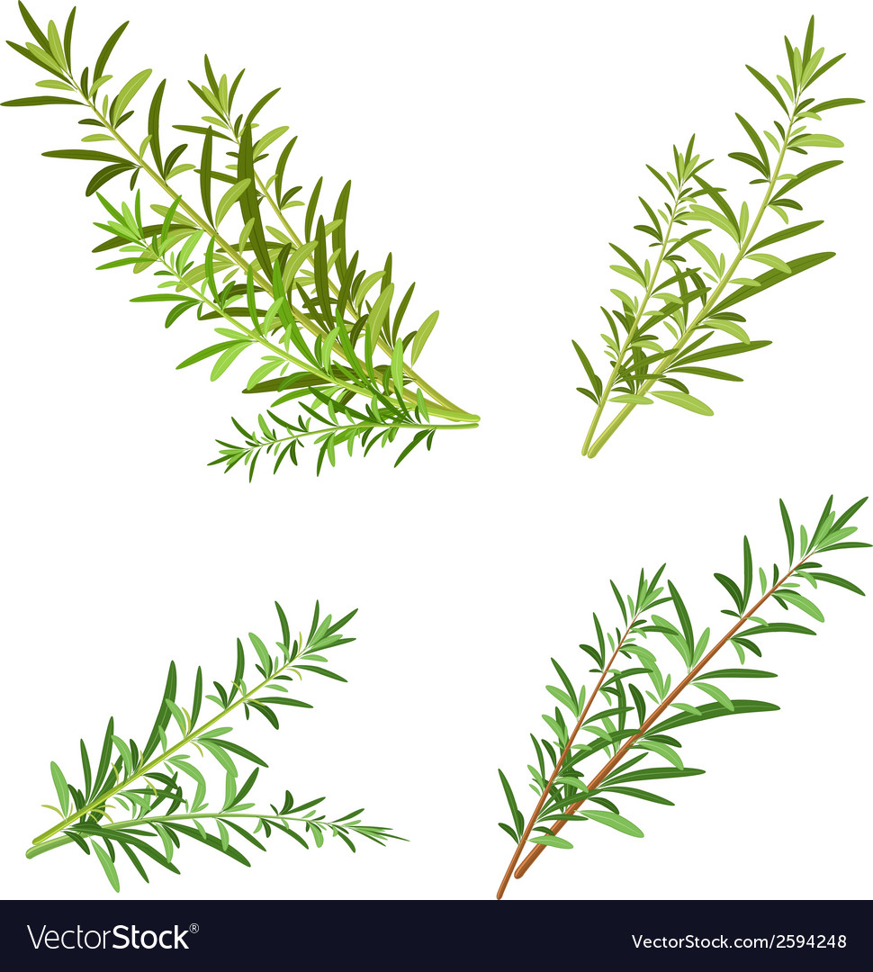 Bunch fresh rosemary herb isolated set vector | Price: 1 Credit (USD $1)