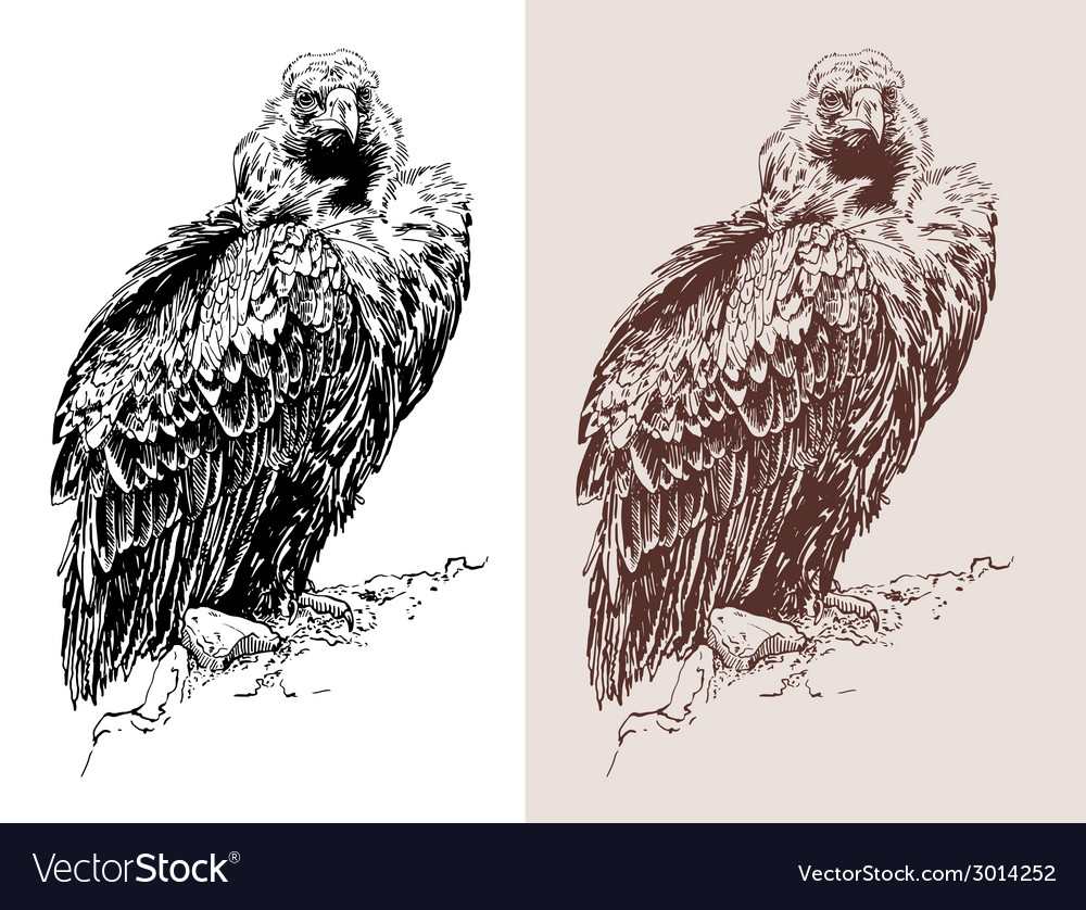 Artwork of griffon vulture aegypius monachus vector | Price: 1 Credit (USD $1)