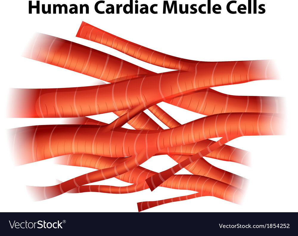 Human cardiac muscle cells vector | Price: 1 Credit (USD $1)