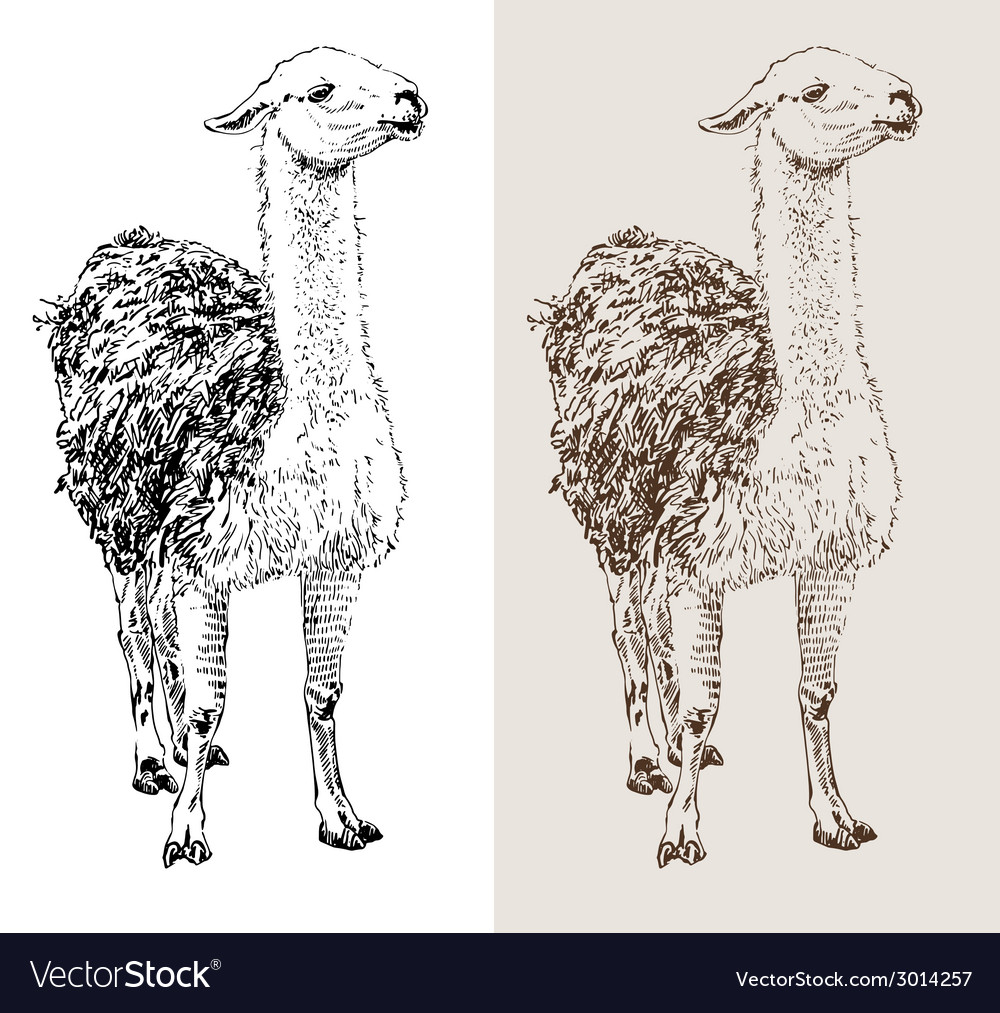 Artwork lama digital sketch of animal vector | Price: 1 Credit (USD $1)