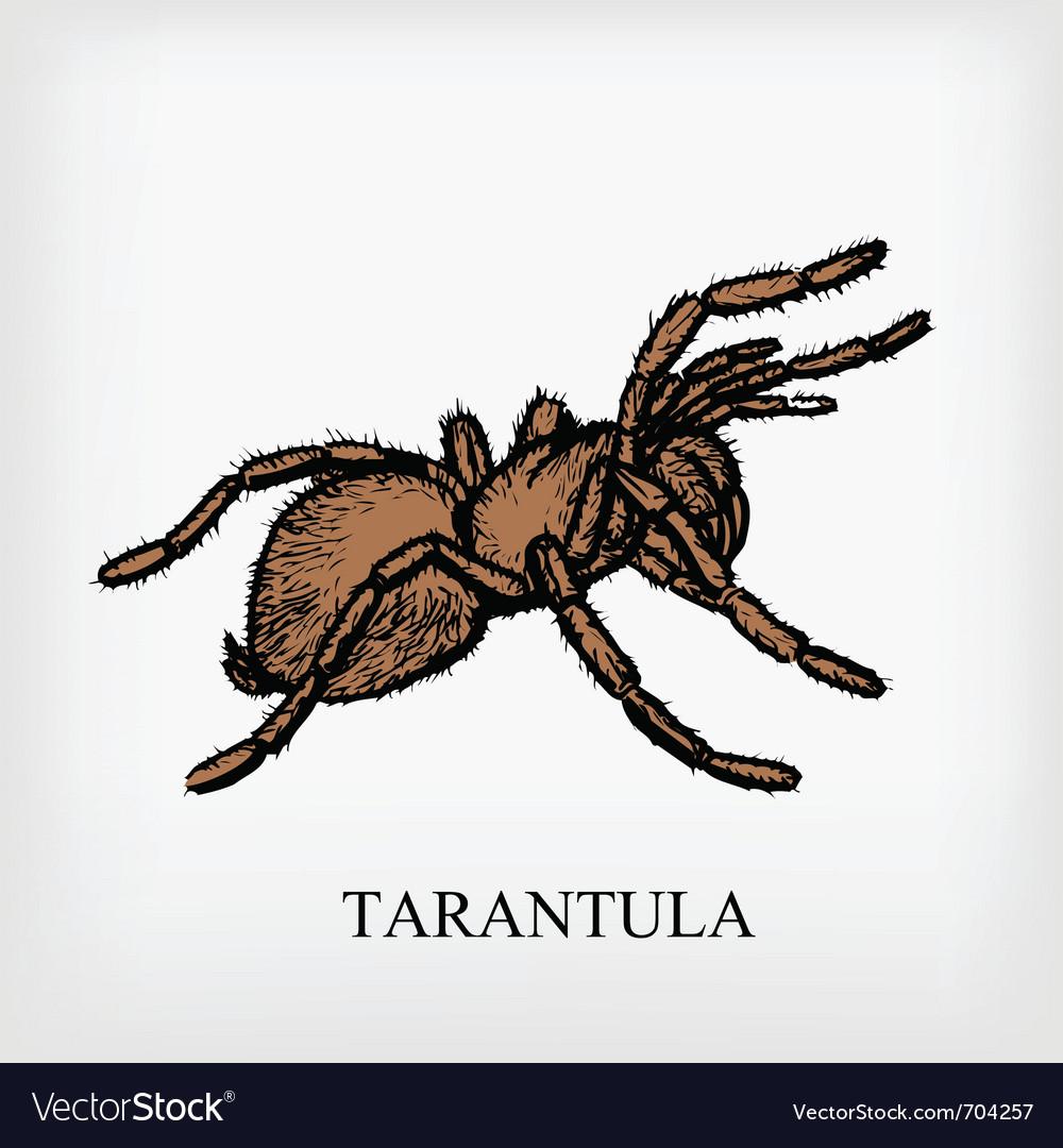 Tarantula spider vector | Price: 1 Credit (USD $1)