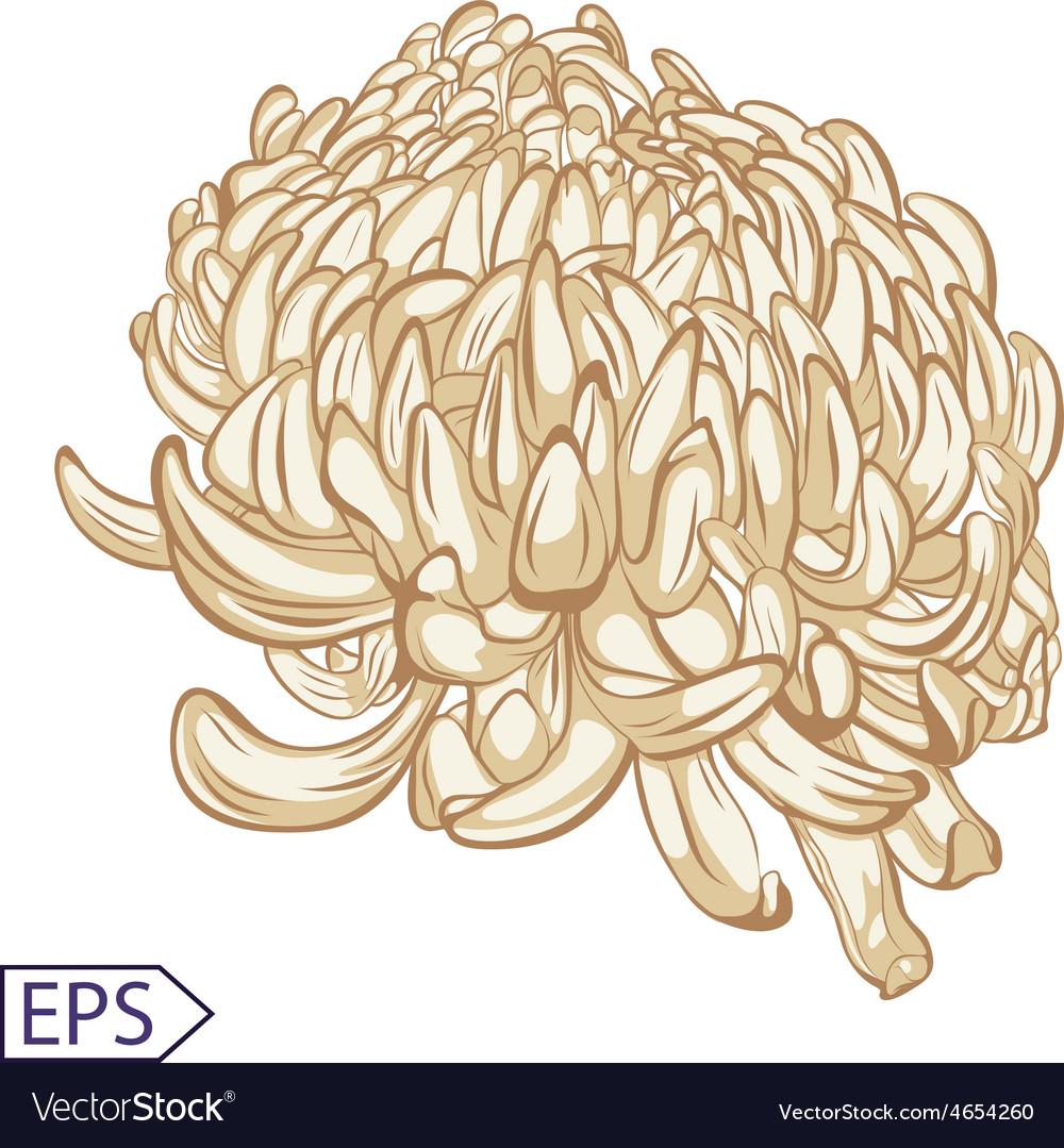 Single chrysanthemum flower color blossoms vector | Price: 1 Credit (USD $1)