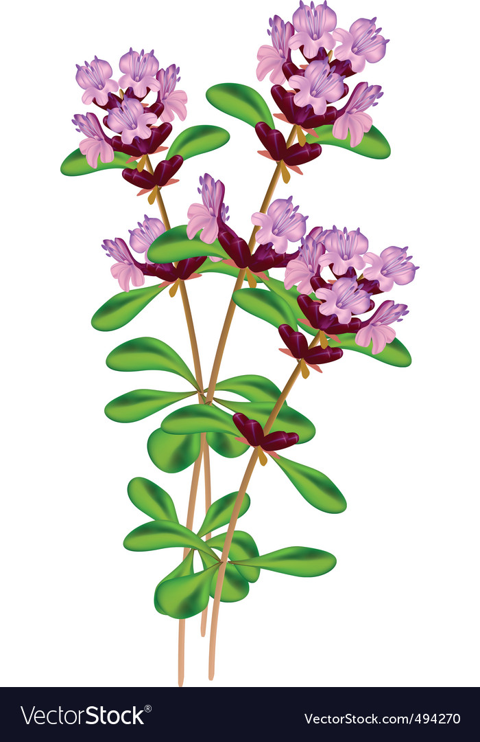 Flowering thyme vector | Price: 1 Credit (USD $1)