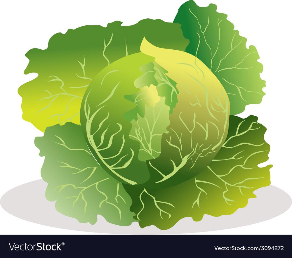 Cabbage vector | Price: 1 Credit (USD $1)