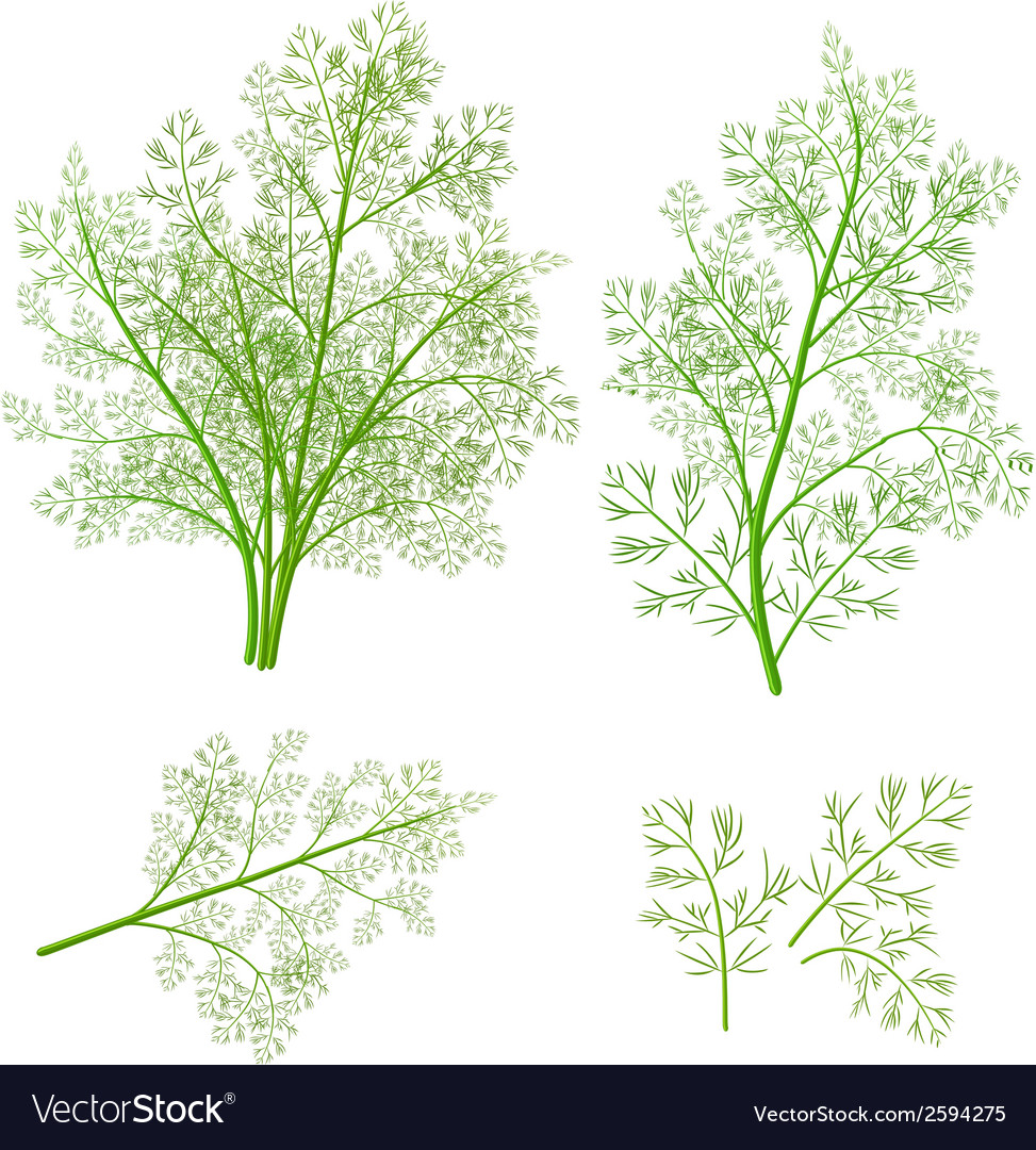 Bunch fresh dill herb isolated set vector | Price: 1 Credit (USD $1)