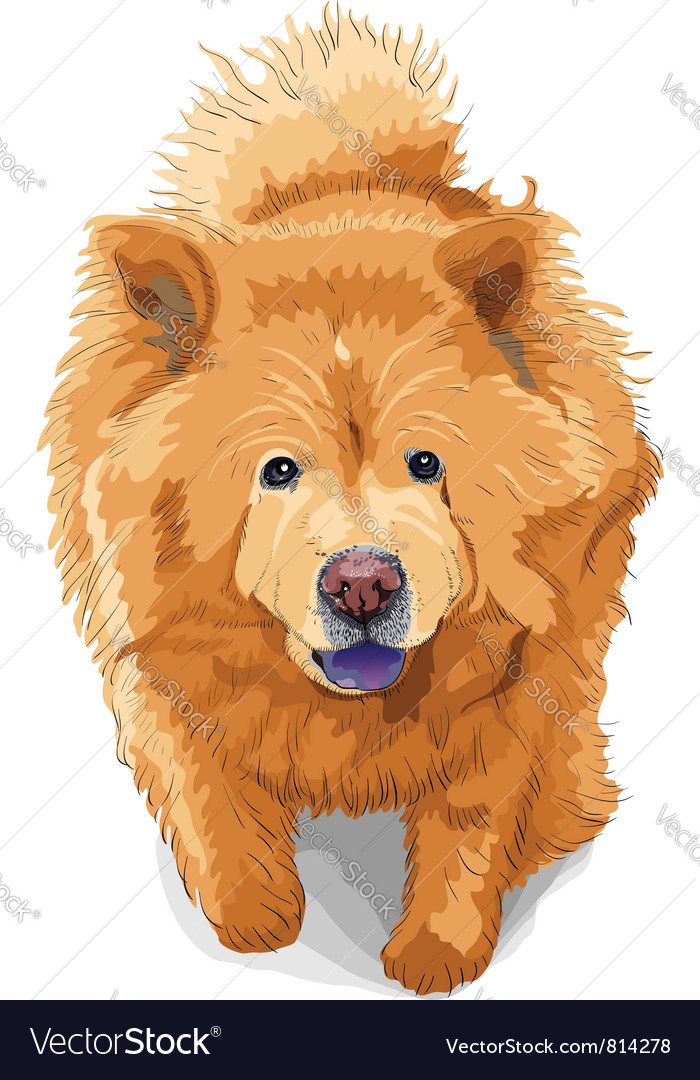 Color sketch of a dog chow-chow breed vector | Price: 3 Credit (USD $3)