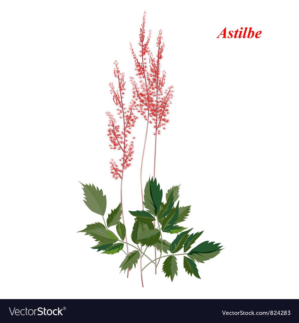 Bright astilba vector | Price: 1 Credit (USD $1)