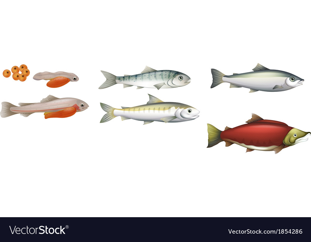 Life cycle of salmons vector | Price: 1 Credit (USD $1)