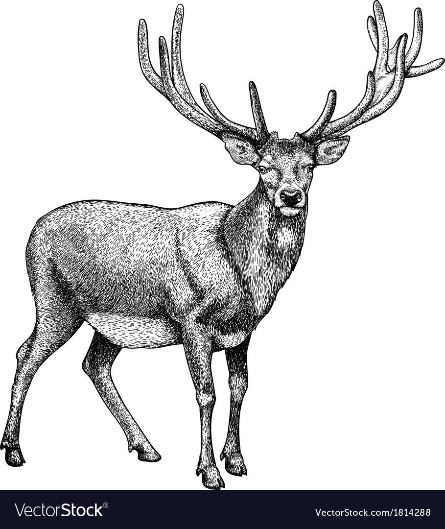 Engraving reindeer vector | Price: 1 Credit (USD $1)