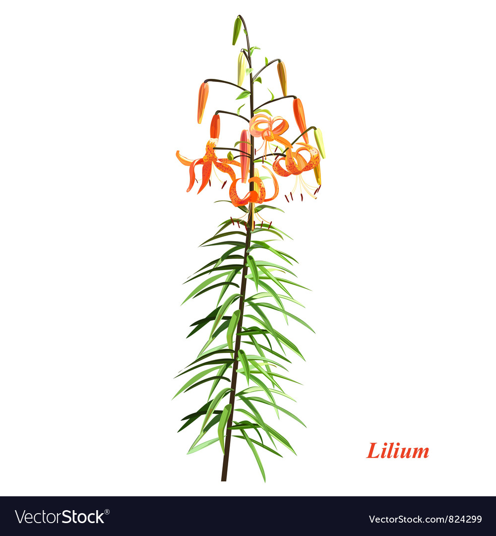 The unique lilium vector | Price: 1 Credit (USD $1)