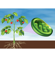 Chloroplast in plant vector