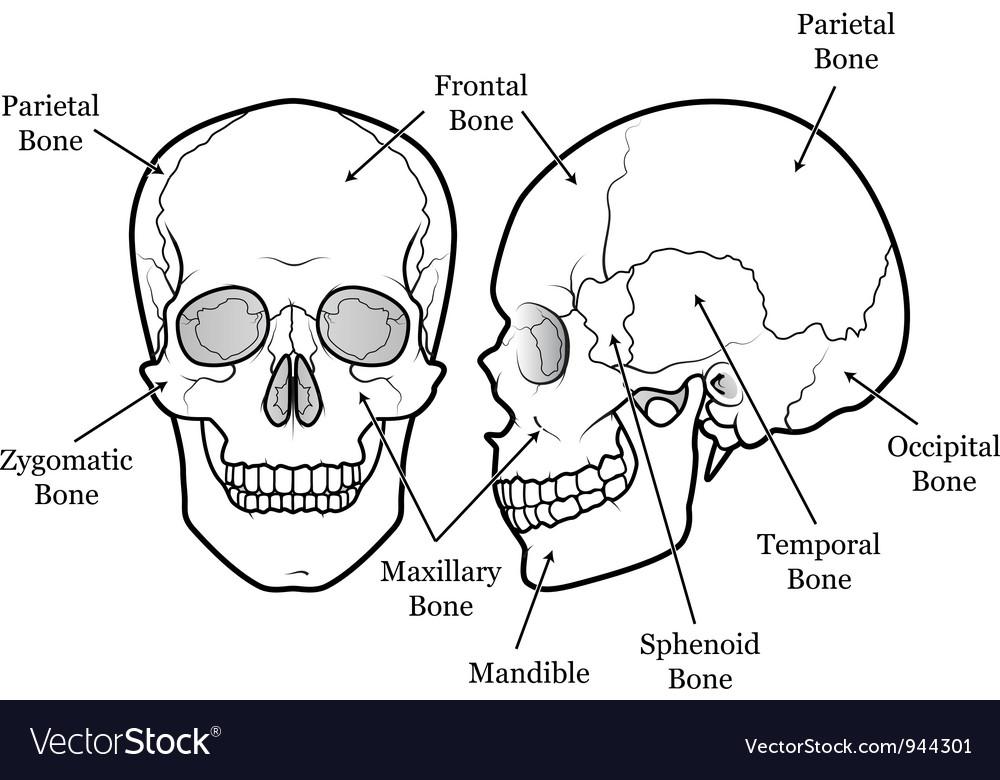 Skull chart vector | Price: 1 Credit (USD $1)