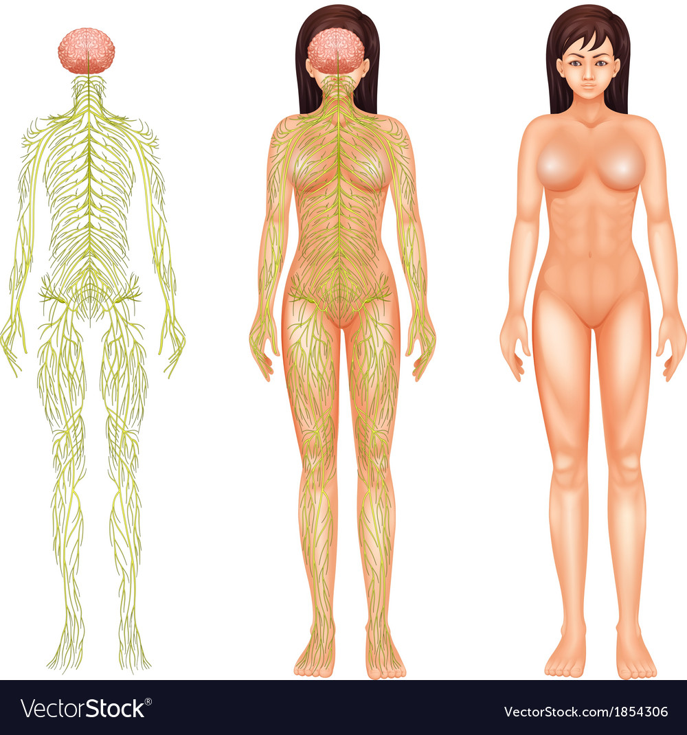 Nervous system of a woman vector | Price: 1 Credit (USD $1)