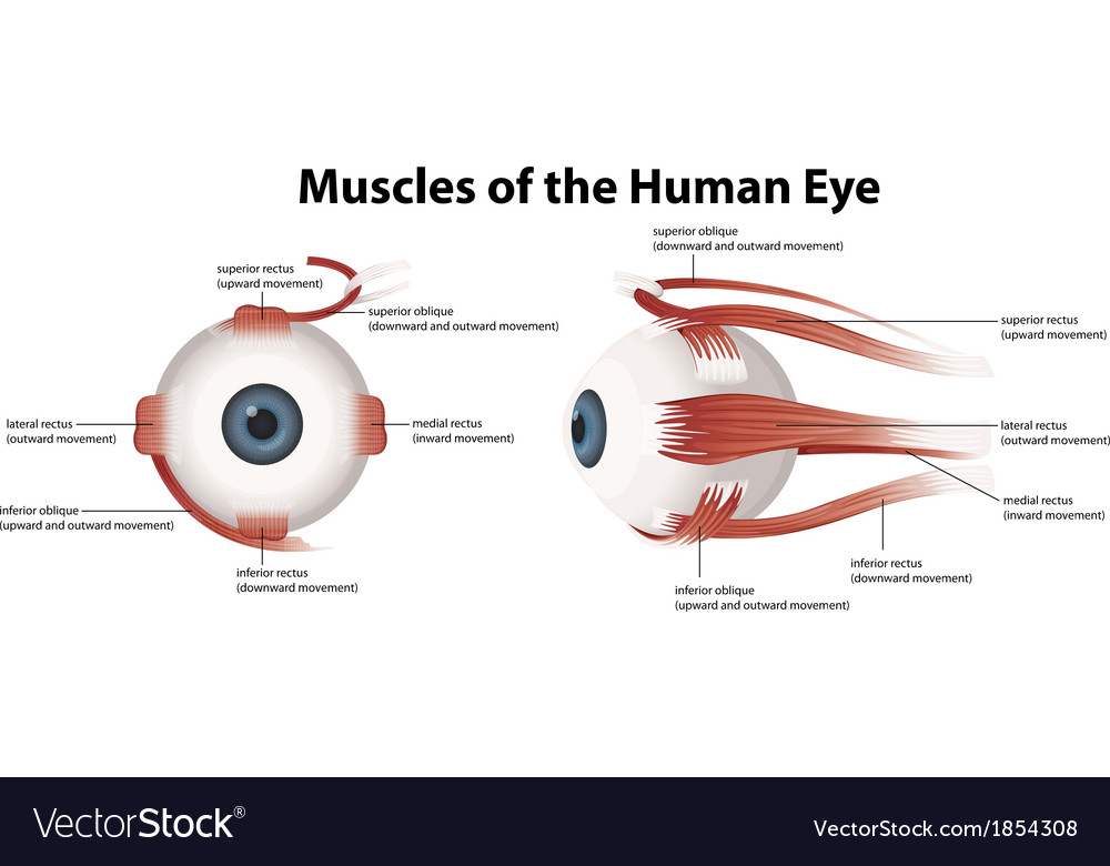 Muscles of the human eye vector | Price: 1 Credit (USD $1)