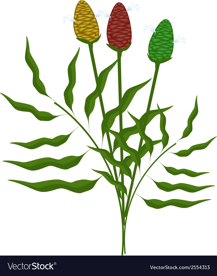 Fresh zingiber zerumbet plant on white background vector | Price: 1 Credit (USD $1)