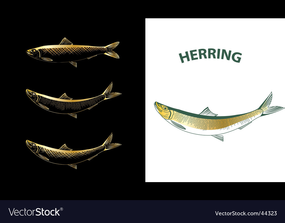 Herring sketch vector | Price: 1 Credit (USD $1)