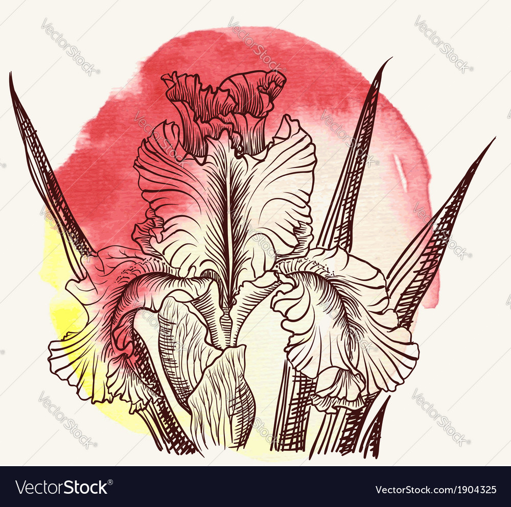 Iris flower vector | Price: 1 Credit (USD $1)