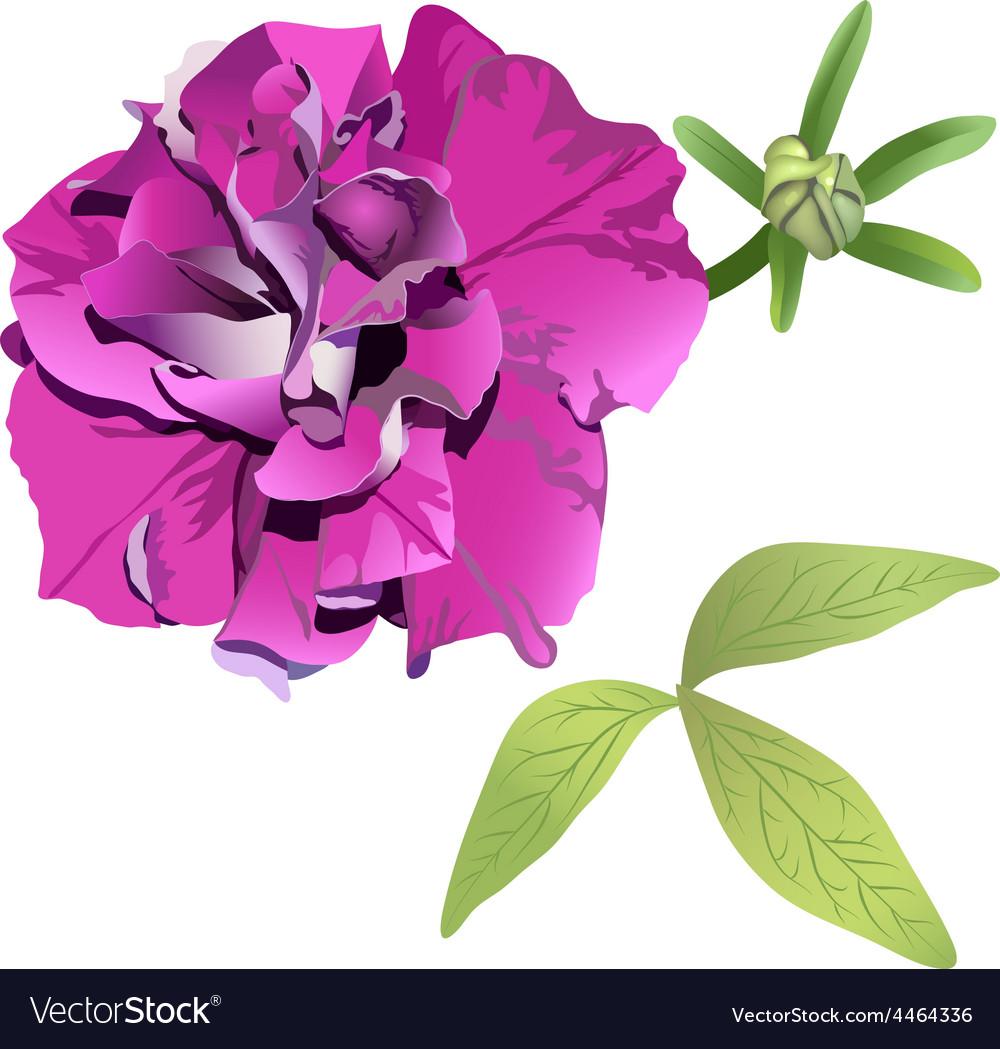Photorealistic purple petunia vector | Price: 1 Credit (USD $1)