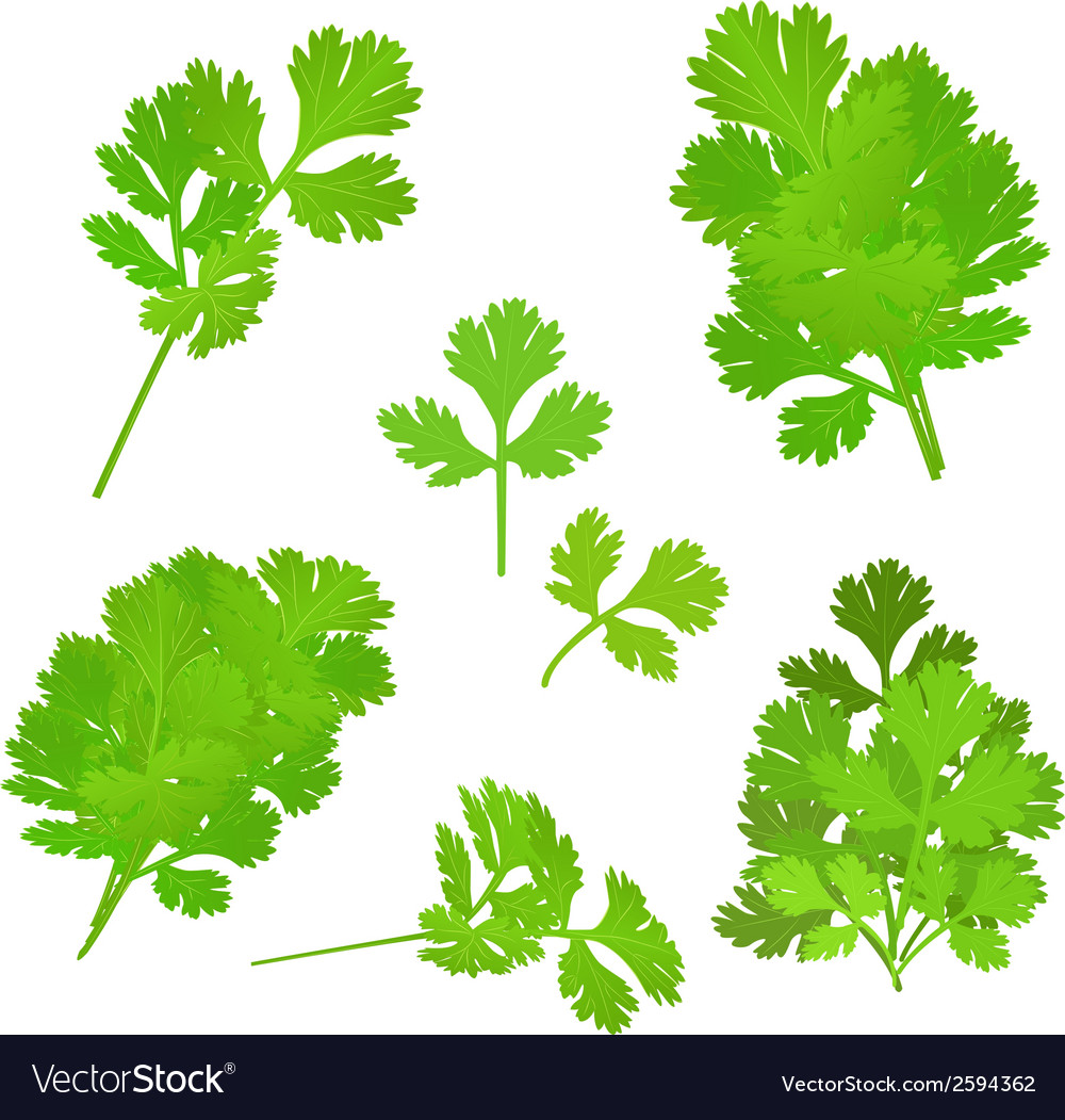 Bunch fresh parsley herb isolated set vector | Price: 1 Credit (USD $1)