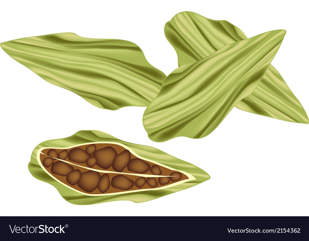Whole and half of fresh cardamom pods vector | Price: 1 Credit (USD $1)