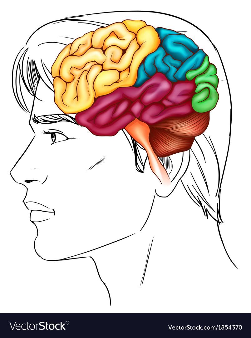 The human brain vector | Price: 1 Credit (USD $1)