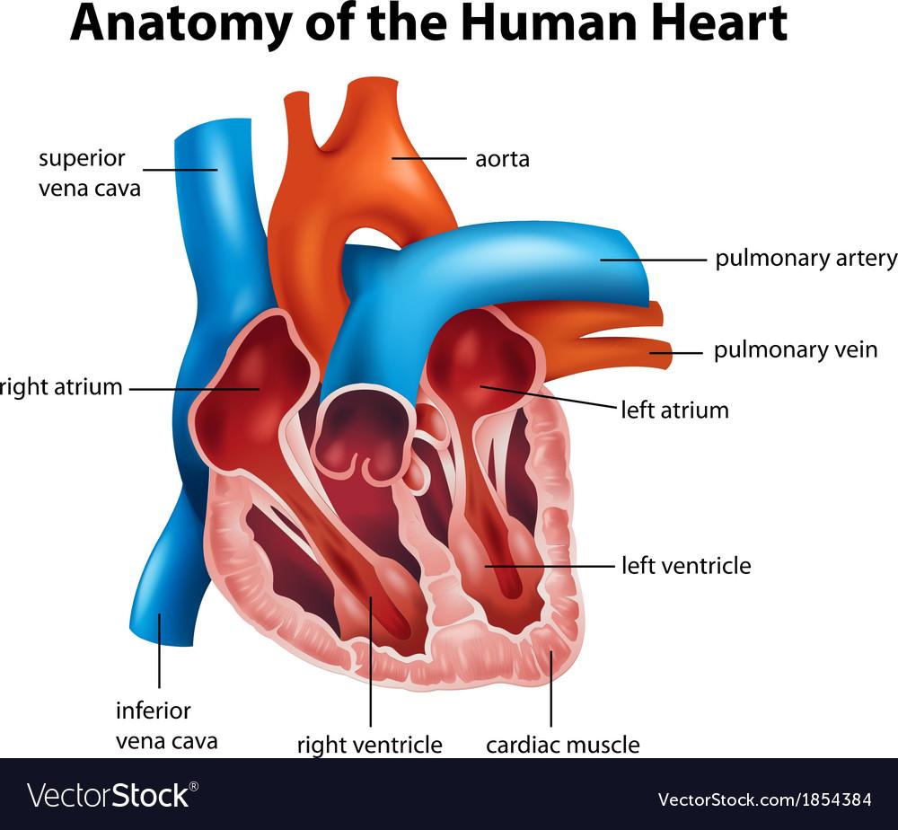 Human heart anatomy vector | Price: 1 Credit (USD $1)