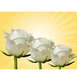 White roses and yellow background vector